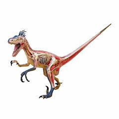 4D Master 4D Vision Velociraptor Anatomy Model